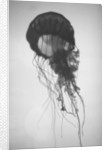 Jellyfish by Corbis
