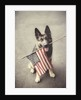 Dog Holding American Flag in Mouth by Corbis