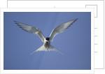 Arctic Tern in Flight by Corbis