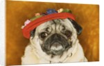 Pug Wearing Floral Hat by Corbis