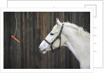 Carrot Dangling in Front of Horse by Corbis