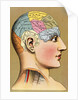 Color Lithograph of Phrenology Head with Human Capacities by Corbis