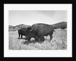 Bison in Wildlife Refuge by Corbis