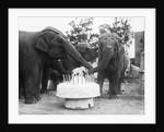 Ruth the Elephant Celebrating Her Birthday by Corbis