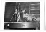 Dachshund Looking At American Flag by Corbis