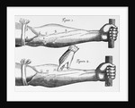 Engraving of a Circulation Experiment by William Harvey