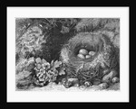 Engraving Of A Bird'S Nest With Eggs by Corbis