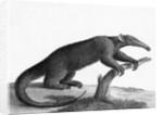 Engraving Of A Tamandua (Anteater) by Corbis