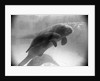 Manatee Mother and Newborn Swimming by Corbis