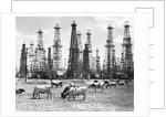 Cows Grazing Near Oil Wells by Corbis