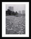Dead Fish Covering Hutchinson Riverbank by Corbis