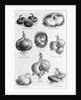 Eight Varieties Of Onion - 1800'S Woodcut by Corbis