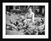 Woman Sits And Hand Feeds Chickens by Corbis