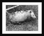 Female Opossum With Young by Corbis