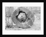 Groundhog in Hollow Log by Corbis
