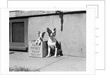 Boston Bulldog and Puppy by Corbis