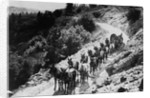 Pack Of Team Mules Going Through Sonora Pass by Corbis