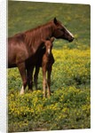 Arabian Mare and Foal by Corbis