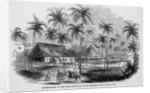 Sugar Plantation by Corbis