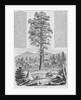 Giant Sequoia Tree by Corbis