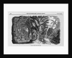 Grove of Mahogany by Corbis