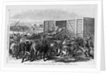 Kansas - Transport of Texas beef on the Kansas Pacific railway - scene at a cattle shoot in Abilene, Kansas by Corbis