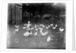 Girl Feeding Chickens by Corbis