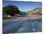 Fields of Lavender in Provence, France by Corbis