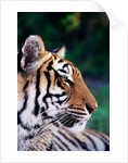Head of Tiger by Corbis