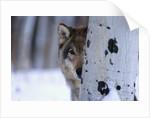 Gray Wolf Behind Aspen by Corbis