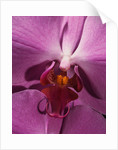 Purple Moth Orchid by Corbis