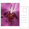 Purple Moth Orchid by Corbis