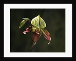 Hybrid Orchid by Corbis
