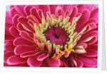 Pink Flower by Corbis