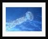 Purple Jellyfish (Pelagia panopyra) by Corbis