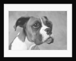 Boxer Puppy by Corbis