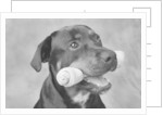 Dog Holding Bone in Mouth by Corbis