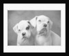 Two Dogs by Corbis