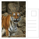 Bengal Tiger Snarling by Corbis