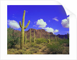 Forest of Cactus by Corbis