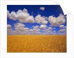 Wheat Field by Corbis