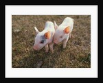 Piglets Standing Together by Corbis
