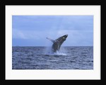 Humpback Whale Breaching by Corbis