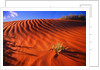 Plant Growing in Sand Dune by Corbis