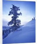 Tree on Snow Covered Hill by Corbis