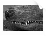 Snout of Crocodile by Corbis