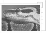 Coiled Snake by Corbis