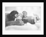Monkey Holding Camera by Corbis