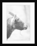 Side of a Goat's Head by Corbis