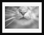 Cat's Nose and Whiskers by Corbis